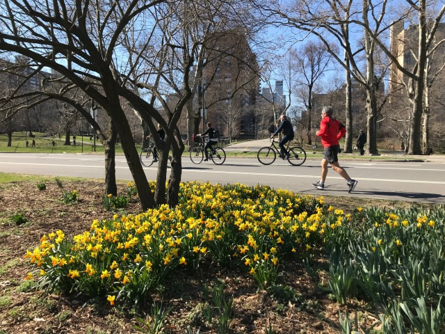 Central Park Daffodils