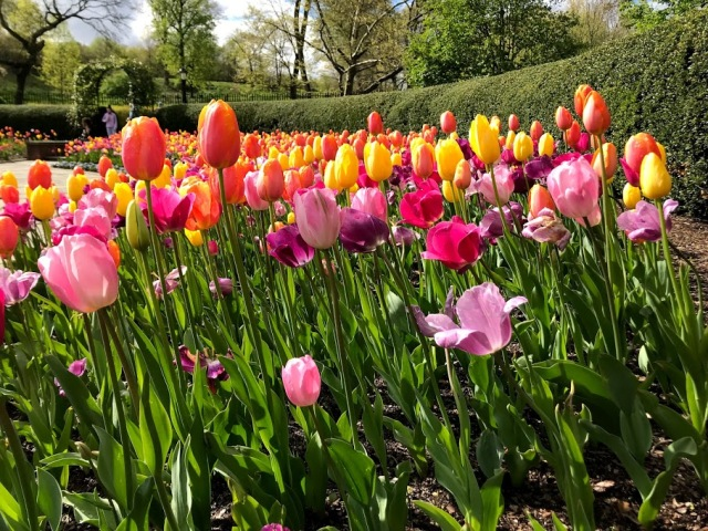 Conservatory Garden Tulips